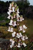Azoren-Glockenblume
